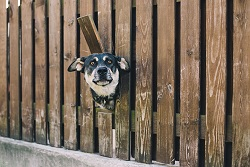 Dog in fence