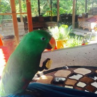 Gonzo, a green Eclectus