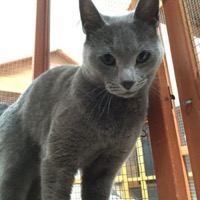 Athena, a Russian Blue cat