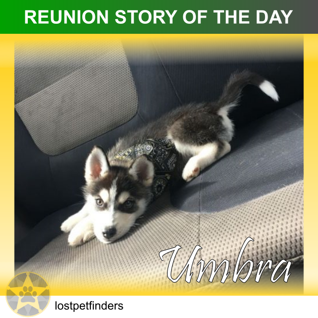 lost husky dog found reunited Geelong VIC Australia