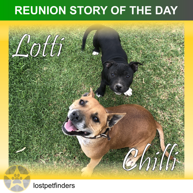 staffy dogs lost found reunited Mount Barker SA