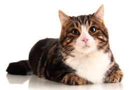 Lost Cats at Vets and Pounds   Lost Pet Finders